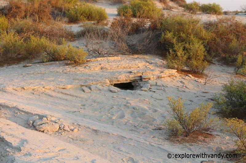Burrow of spiny tailed lizard