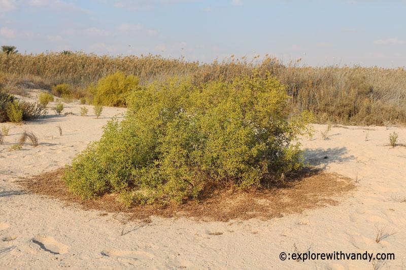 Zygophyllum plant